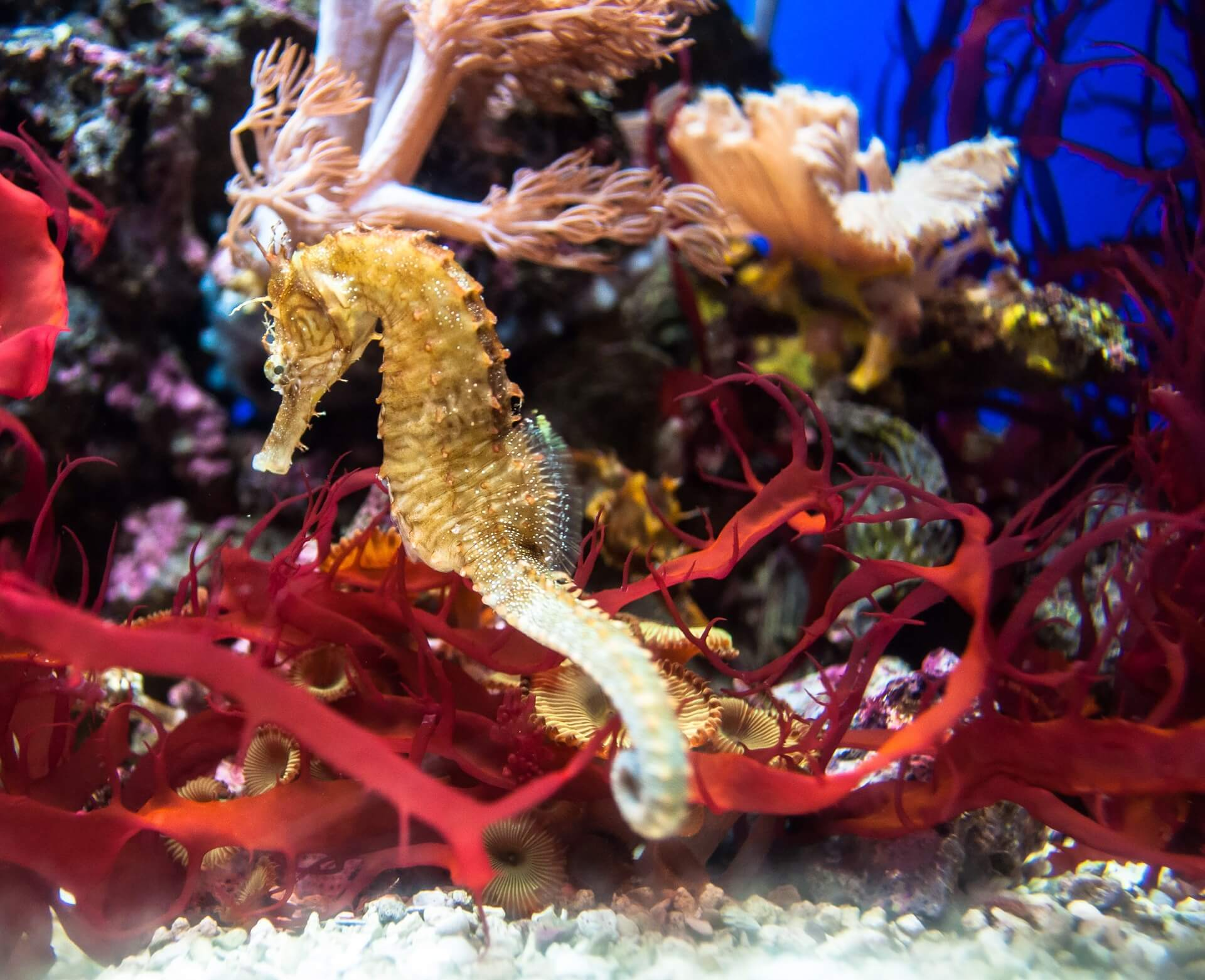 Hippocampe parmi les coraux