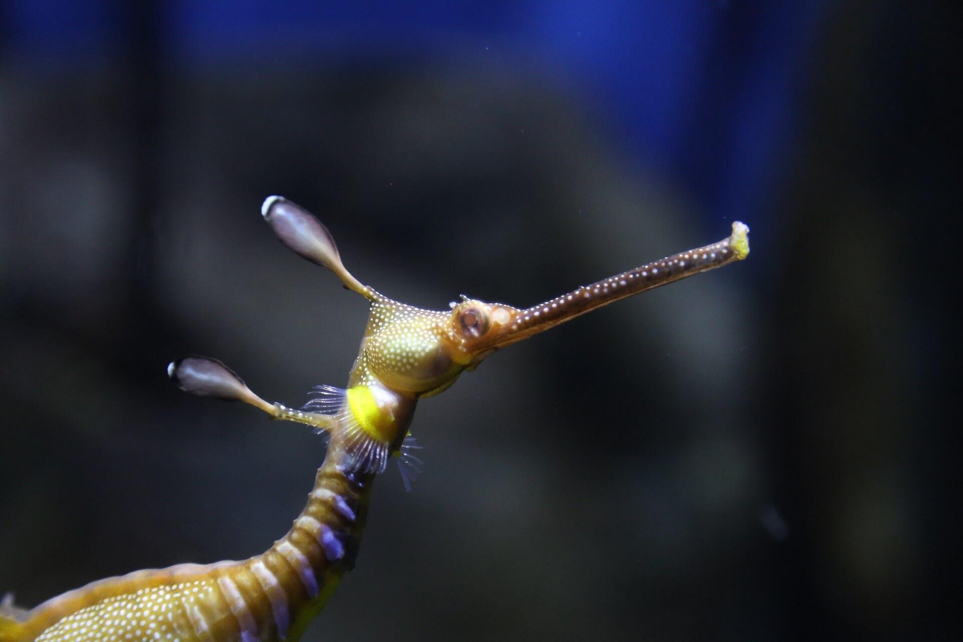 Hippocampe nain vu de près