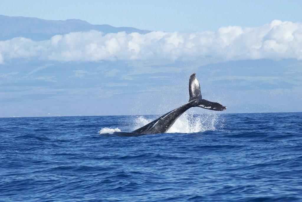 Plonger avec les baleines