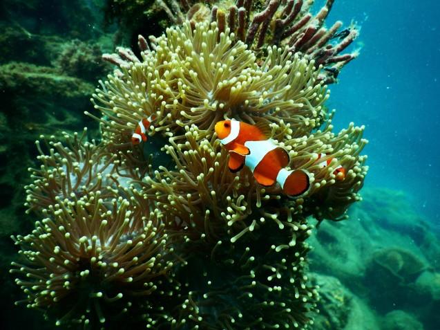 clownfish-under-water