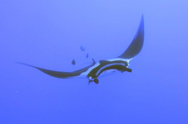 raie-manta